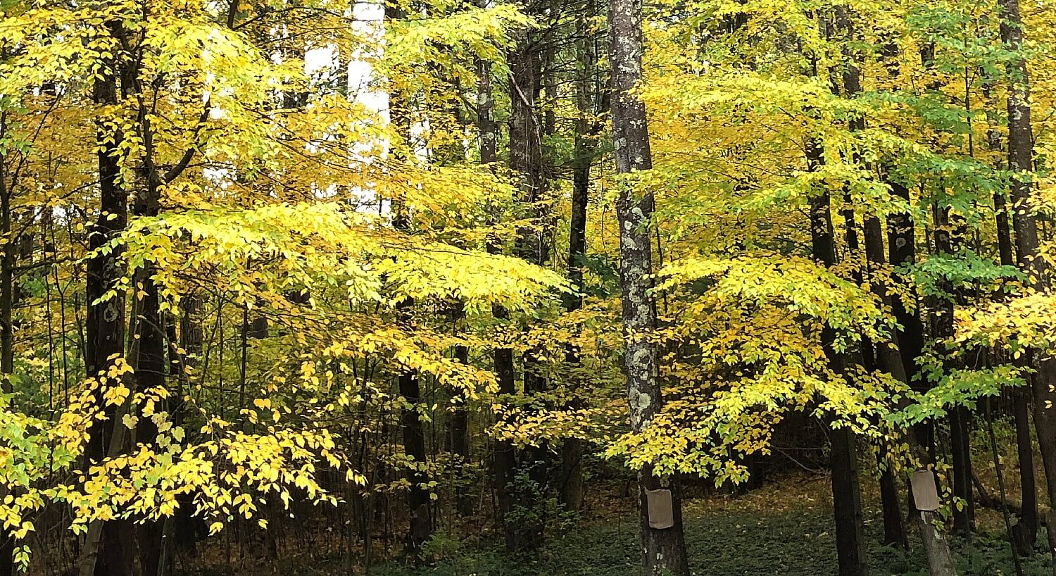 Bright yellow and green foliage in a dense wooded area with square markers on the trees