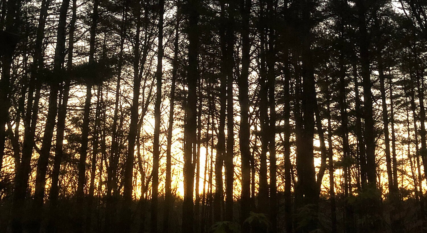 Bright yellow sunrise seen through a thick forest of tall skinny trees