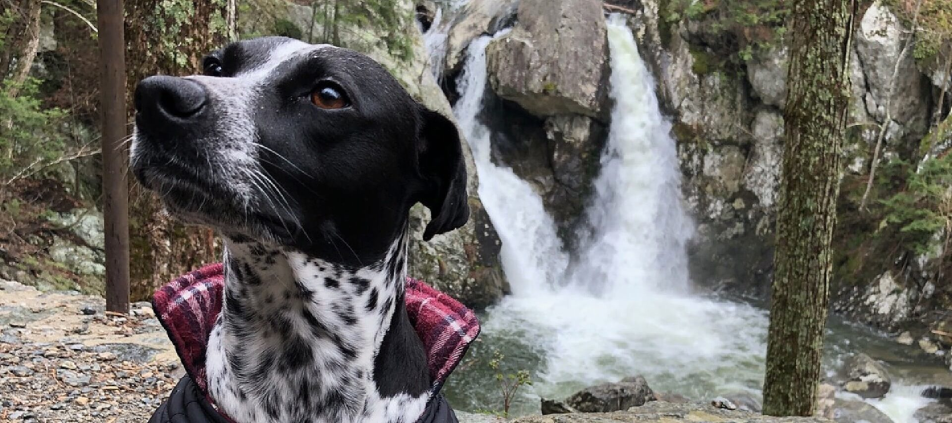 Black and white dog with red plaid jacket sitting among trees in front of waterfall cascading into pool of water
